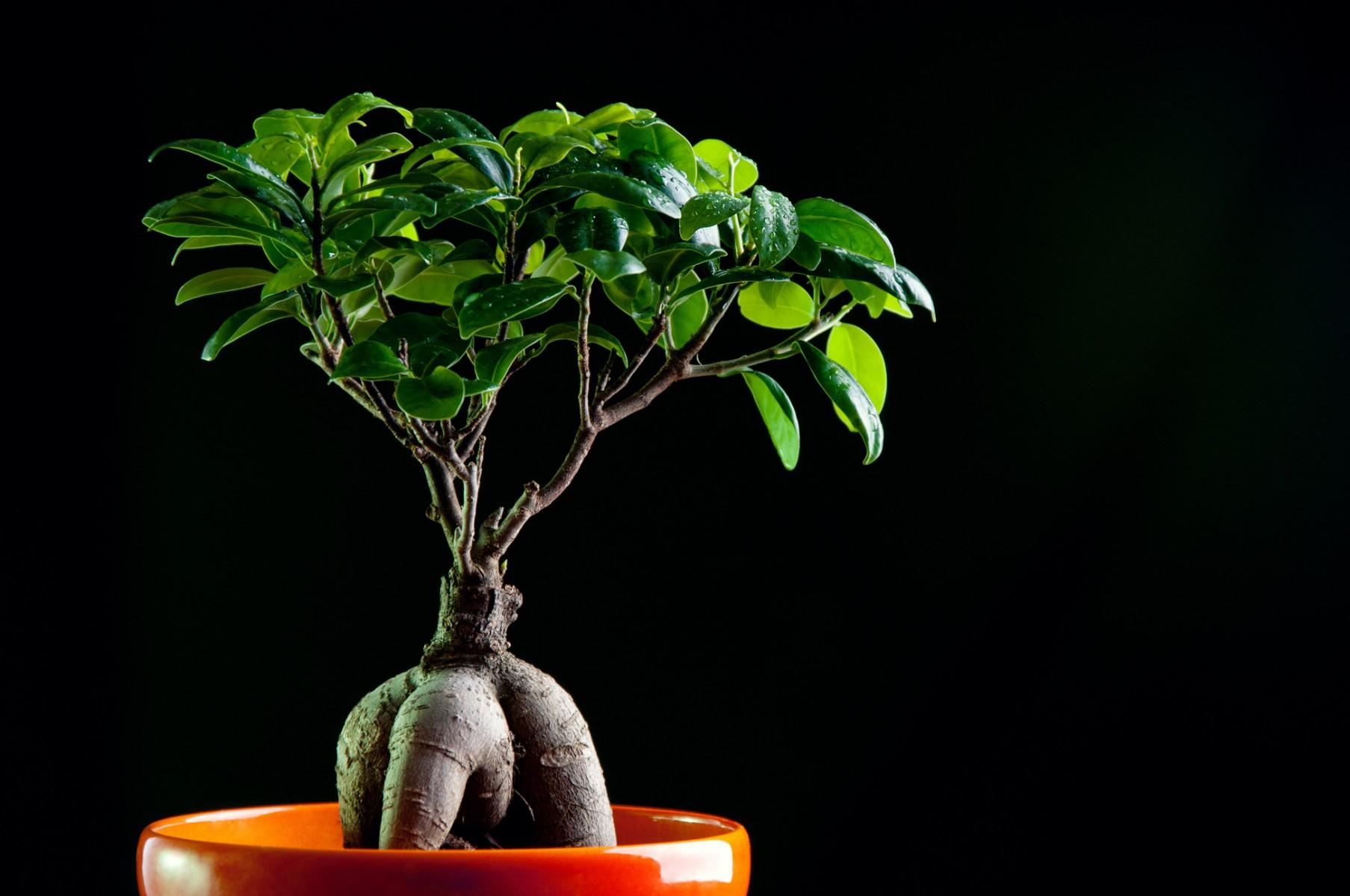 Pianta Da Ufficio Poca Luce bonsai da interno: quali scegliere e come posizionarli