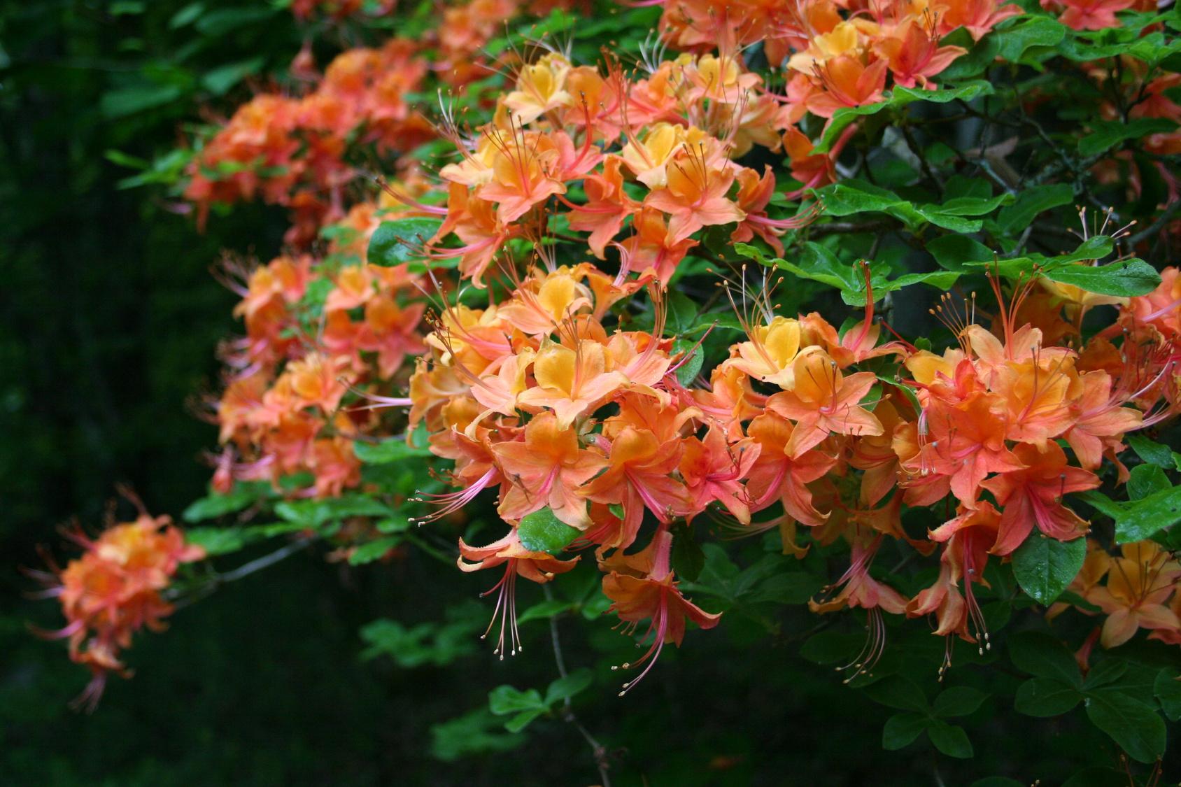 Fiori Campanelle Da Balcone fiori notturni, notte magiche in giardino e terrazzo - gesal.it