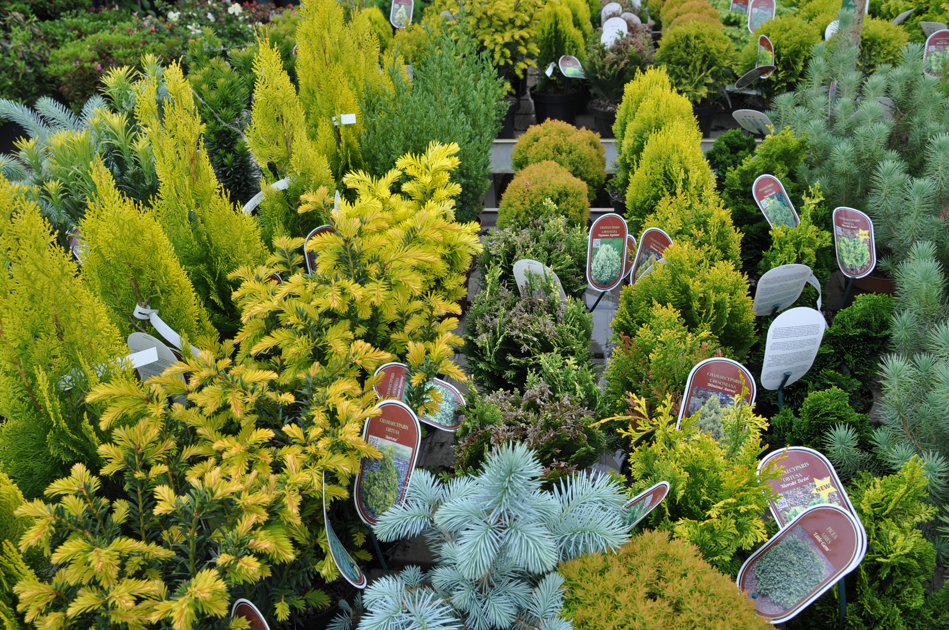 Alberi Nani Da Giardino conifere nane da vaso e da giardino - gesal.it