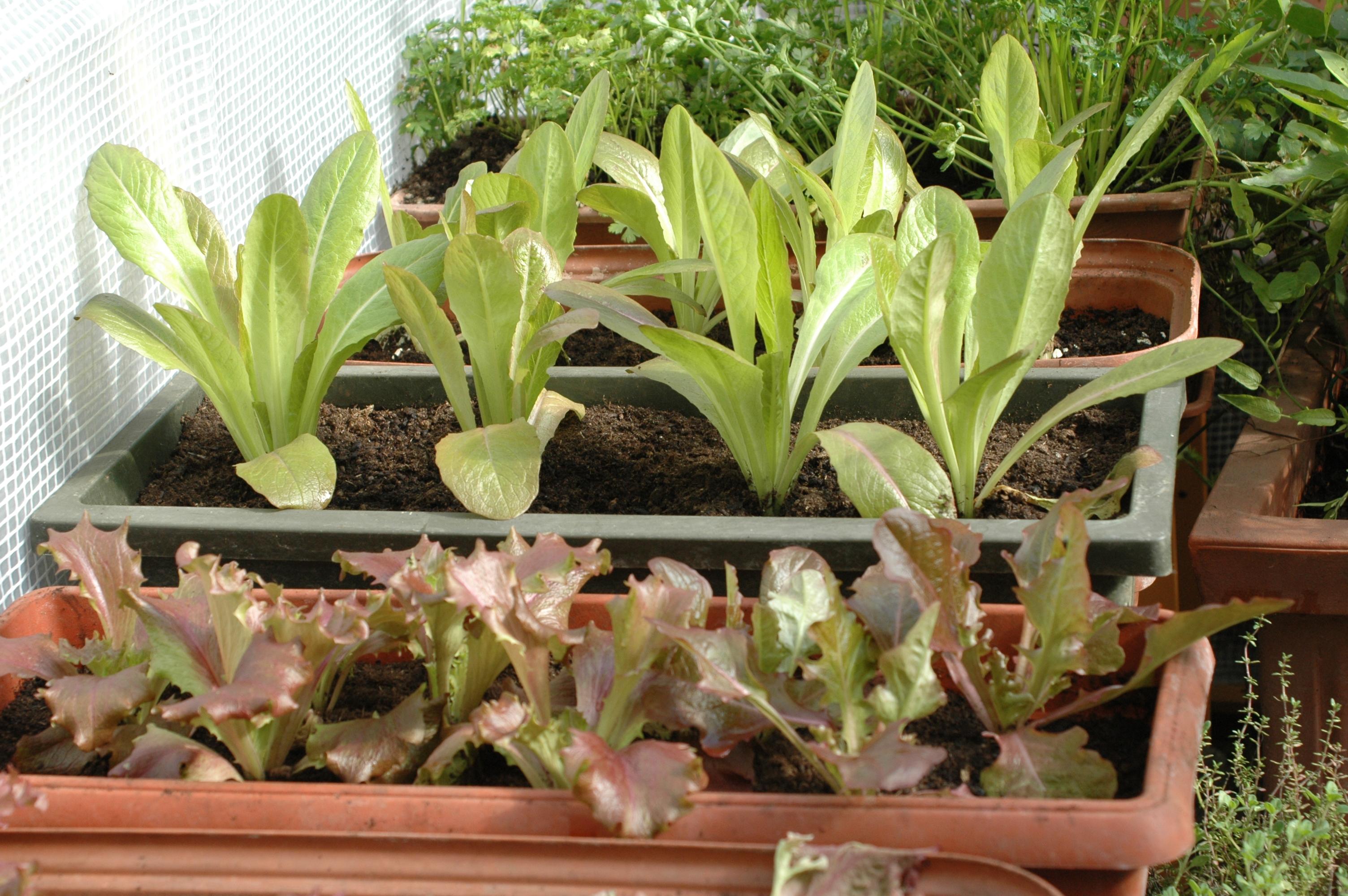 Coltivare il rosmarino in vaso - Dulcis in Fundo