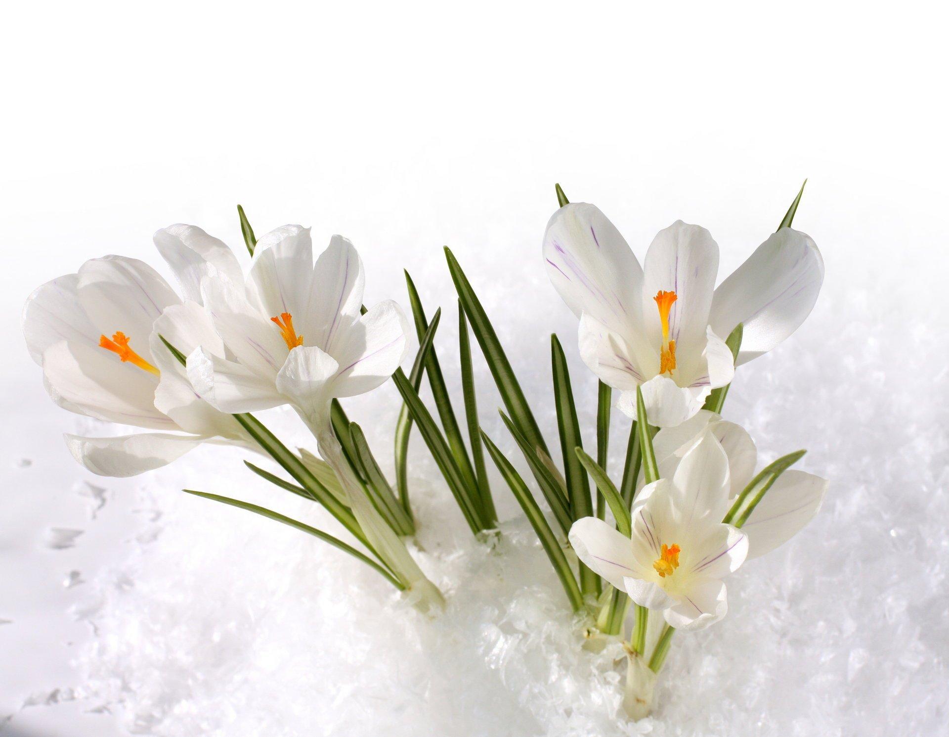 Calicanto Fiore D Inverno i fiori che sfidano la neve - gesal.it