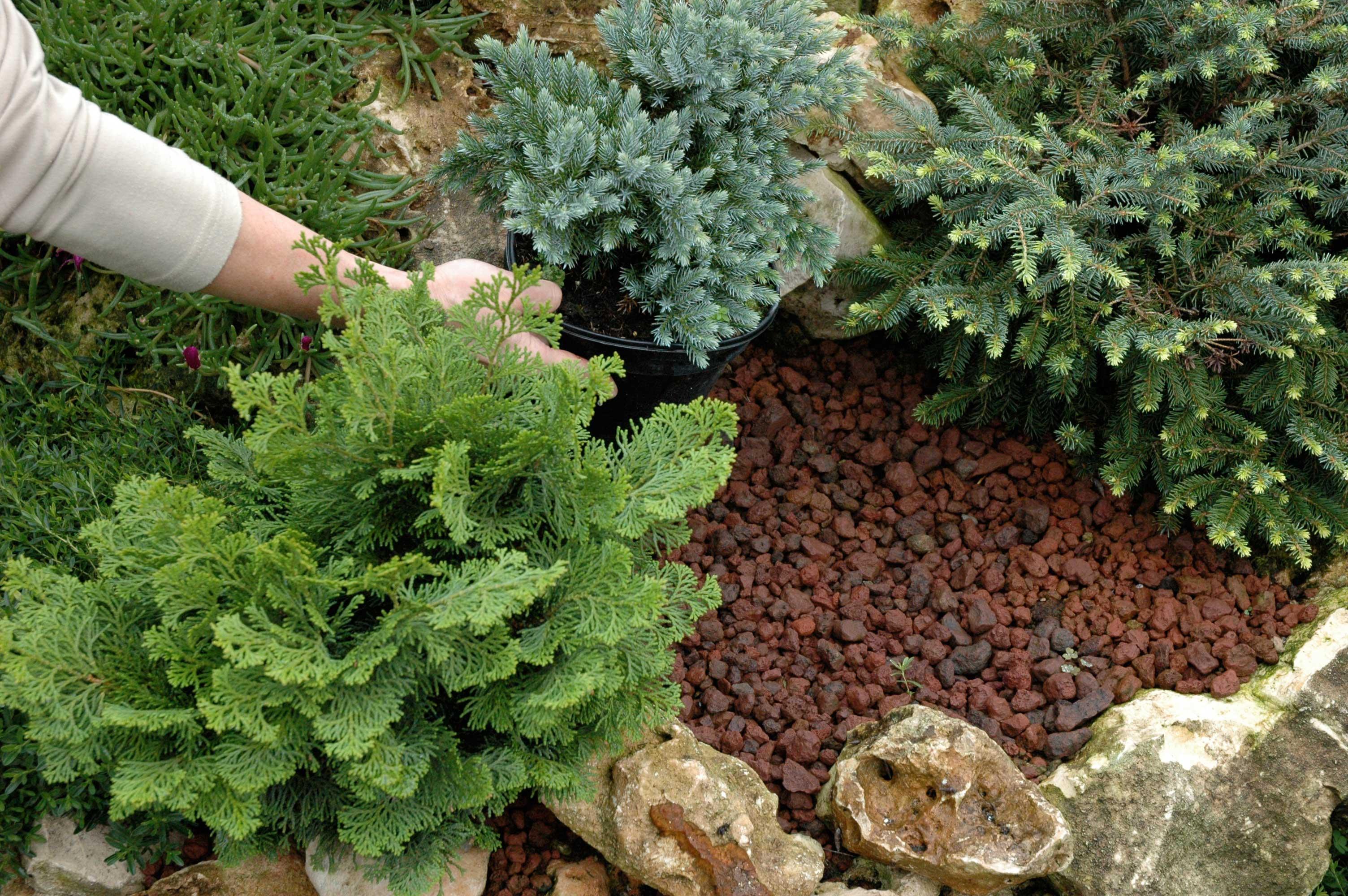 Alberi Nani Da Giardino le semplici regole per curare sempreverdi e conifere - gesal.it